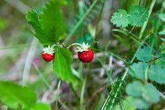 野草莓在森林里 免版税库存图片