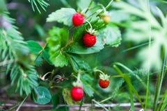 野草莓在森林里 库存照片