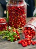 野草莓收获 免版税库存图片