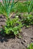 野草莓新鲜的灌木  库存照片