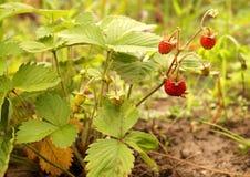 野草莓浆果 免版税库存照片
