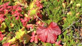 野草莓的深红和黄色叶子在风震动 股票录像