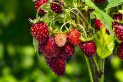 野草莓花束在绿色背景的 免版税库存图片
