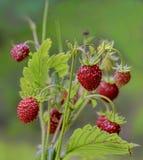野草莓花束 库存照片