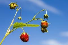 野草莓 图库摄影
