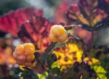 野草莓moroshka山石Urals3 库存图片