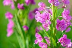 野草& x28桃红色花; 柳叶菜属或Chamerion angustifolium& x29;在绽放伊冯茶 免版税库存照片