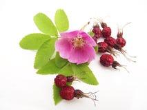 野蔷薇和其果子 免版税库存照片