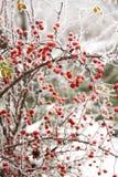 野蔷薇果子和结冰的雾 免版税库存照片