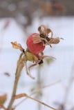 野蔷薇果子在冬天 图库摄影