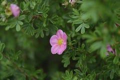 野蔷薇甜点 图库摄影