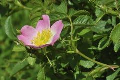 野蔷薇甜点 库存图片