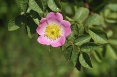 野蔷薇甜点 免版税库存图片