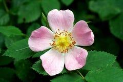 野蔷薇花 库存图片