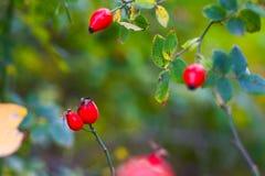野蔷薇莓果 免版税库存照片