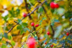 野蔷薇莓果 库存照片