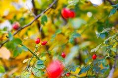 野蔷薇莓果 免版税库存图片