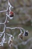 野蔷薇(罗莎canina)的冷淡的臀部 免版税图库摄影