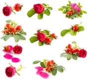 野蔷薇 免版税库存照片
