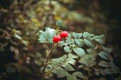 野蔷薇 库存照片