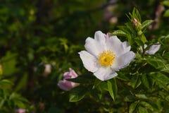 野蔷薇 免版税图库摄影
