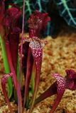 野蛮带红色紫色植物 库存照片
