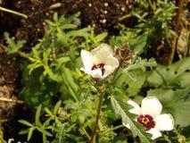 野西瓜苗开花用被打开的种子荚 免版税库存图片