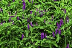 野豌豆cracca兰花苕子,母牛巢菜属植物,兰花苕子,蓝色巢菜属植物,北方巢菜属植物 免版税库存照片