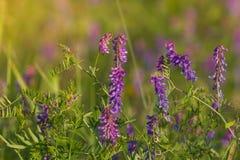 野豌豆cracca,也威胁巢菜属植物和兰花苕子 在迷离背景的秀丽桃红色开花的花 免版税库存照片