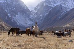 野马在晴朗的秋天的多雪的山吃草 免版税库存图片