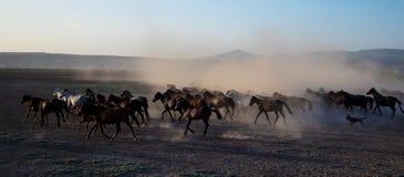 野马在沙漠成群赛跑, kayseri,火鸡 图库摄影