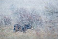 野马在自然栖所,与强的雪风暴,雪花的冬天场面盖了动物,捷克 免版税库存图片
