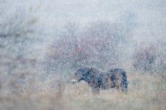 野马在自然栖所,与强的雪风暴,雪花的冬天场面盖了动物,捷克 免版税库存照片