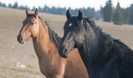 野马在蒙大拿美国-与他的暗褐色母马的黑公马在普莱尔山野马范围 库存照片