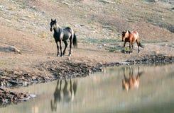 野马在蒙大拿美国-与他的跟随他的暗褐色母马的黑公马在水坑在普莱尔山野马范围 库存图片
