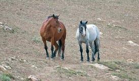 野马在蒙大拿美国-海湾公马和蓝色软羊皮的母马在普莱尔山野马排列 免版税库存照片