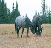 野马在蒙大拿美国-蓝色软羊皮的一起吃草在普莱尔山野马范围的母马和黑公马 库存图片