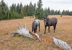 野马在蒙大拿美国-蓝色软羊皮的母马和黑公马在死烂掉旁边登录普莱尔山野马范围 库存图片