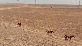 野马奔跑通过哈萨克斯坦干燥干草原 股票录像