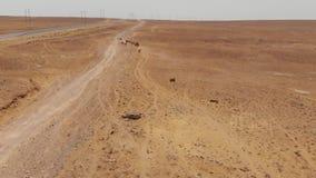 野马奔跑通过哈萨克斯坦干燥干草原 影视素材