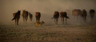 野马成群在芦苇的赛跑, kayseri,火鸡 免版税库存图片