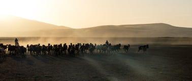 野马成群在desrt的赛跑, kayseri,火鸡 免版税库存图片