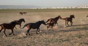 野马成群在desrt的赛跑, kayseri,火鸡 图库摄影