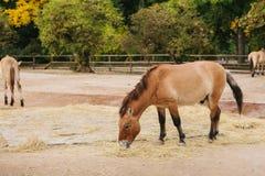 野马或骡子或者小马在布拉格动物园里  哺乳动物或马吃燕麦或干草 在露天的马牧群 免版税库存照片