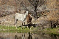 野马母马和她的驹 免版税库存图片