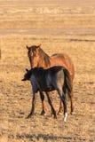 野马母马和驹在沙漠 库存照片