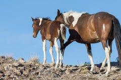 野马母马和驹在里奇 免版税库存照片