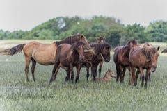 野马牧群在北卡罗来纳outerbanks的  免版税库存照片