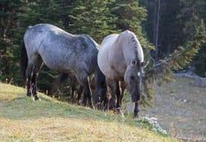 野马-在普莱尔山野马的蓝色软羊皮的母马和银灰色Grulla母马在蒙大拿美国排列 库存图片