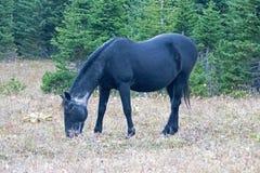 野马-在普莱尔山野马范围的蓝色软羊皮的黑公马在蒙大拿美国 免版税库存图片